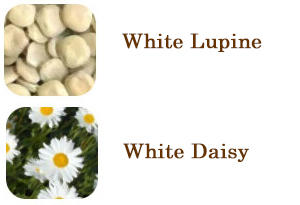 white daisy and white lupine